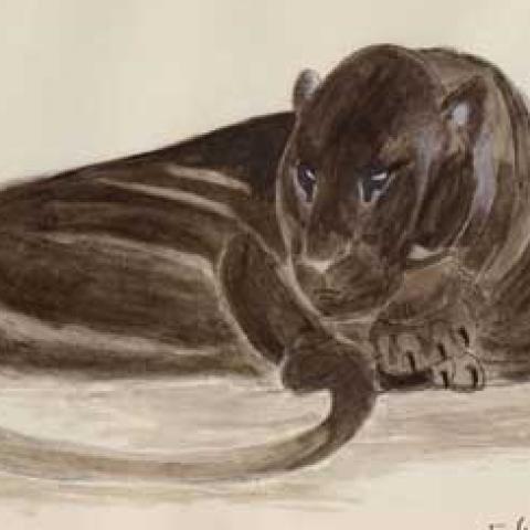 Panthère noire couchée. Vers 1925.
